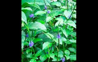 Vervine weed